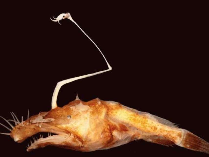 Une Lasiognathus femelle, de moins de 10 cm de longueur, munie de sa longue canne à pêche et d'une énorme bouche en guise d'épuisette. © Theodore Pietsch, Ph.D., University of Washington