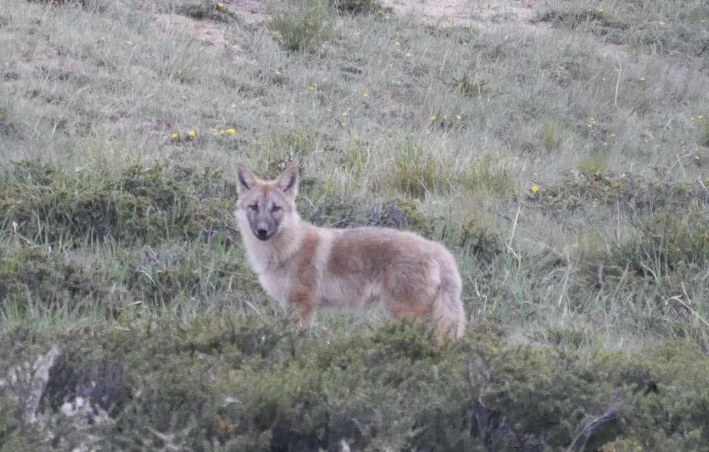 Le loup de l'Himalaya serait le plus ancien représentant de l'ancêtre commun de tous les canidés. © Geraldine Werhahn, Himalayan Wolves Project