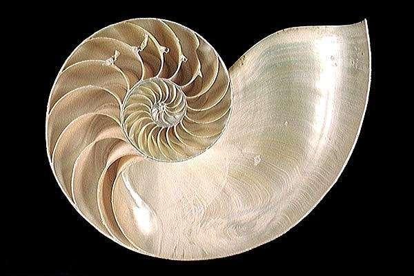 La coquille en spirale du nautile, une fractale naturelle