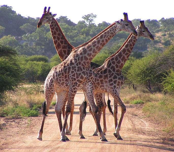 Groupe de girafes dans le parc Kruger, en Afrique du Sud. © D. Gordon, E. Robertson Wikipédia, CC by-sa 3.0