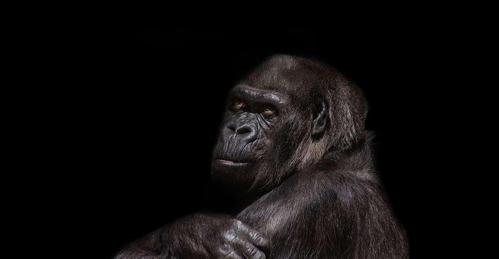 Gorille. © Sponchia, Pixabay, DP