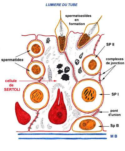 Les spermatozoïdes sont issus du processus de spermatogenèse (du bas vers le haut). Sp B : spermatogonie ; SP I et SP II : spermatocytes I et II. © Nicole Vacheret