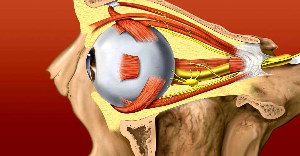 Vue latérale de l'œil. © Patrick J. Lynch, medical illustrator, Wikimedia commons, CC by 2.5