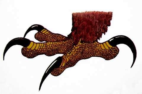 Patte d'aigle. © Reproduction et utilisation interdites