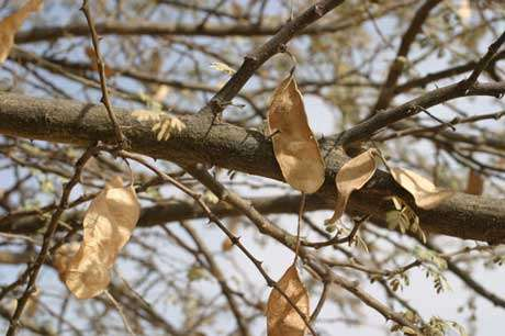 Acacia Laeta - Le fruit, le deuxième organe de mobilité des plantes (vecteur = vent) © Photo Philippe Birnbaum - Tous droits de reproduction réservés