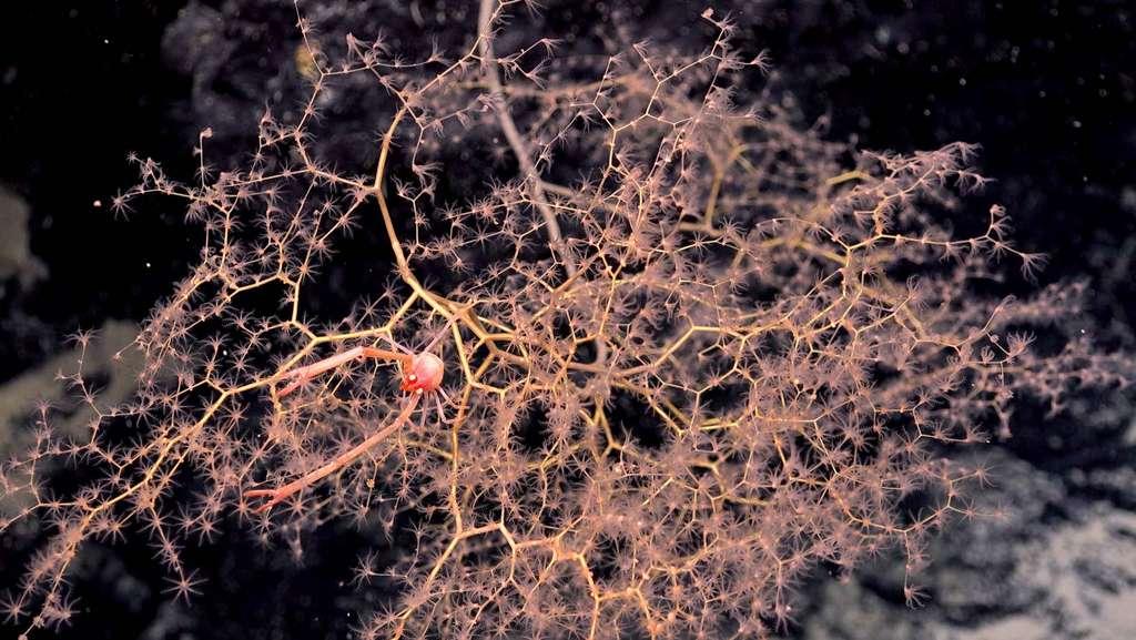 Une galathée est surprise sur un corail doré dans les profondeurs de l'archipel des Îles Phœnix. © SOI, ROV SuBastian