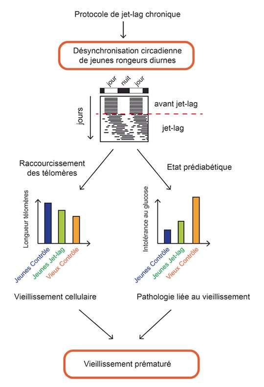 Représentation schématique de l'impact du « jet-lag » (décalage horaire) chronique sur le vieillissement d'un rongeur diurne. La désynchronisation est induite par un protocole de jet-lag chronique qui consiste en une perturbation du cycle lumière-obscurité pendant trois mois. La désynchronisation est mesurée grâce à l'enregistrement de l'activité des animaux (représentation schématique sous forme d'actogramme, où chaque barre noire représente une période d'activité). Il en résulte une diminution des télomères, signe de vieillissement cellulaire, et un état prédiabétique caractérisé par une intolérance au glucose (représentation schématique des différences obtenues). © Edith Grosbellet