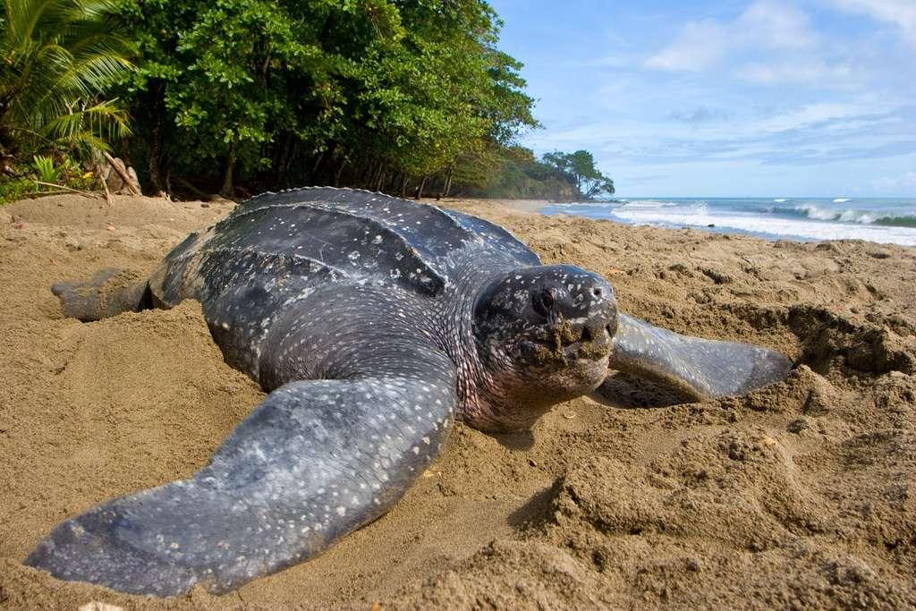 La protection de l'espèce depuis de nombreuses années porte ses fruits. Mais les effectifs sont toujours en diminution, d'après les données de l'UICN. © Brian J. Hutchinson