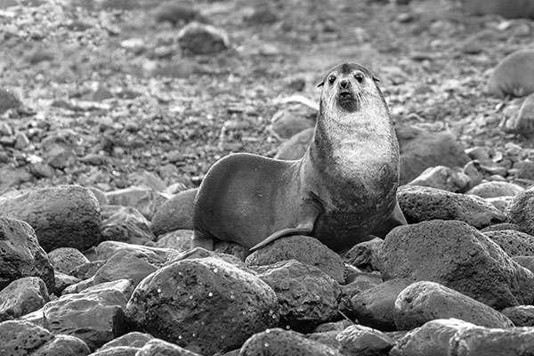 Mâle au poste de guet dans les rochers. © Grégory Pol. Tous droits réservés