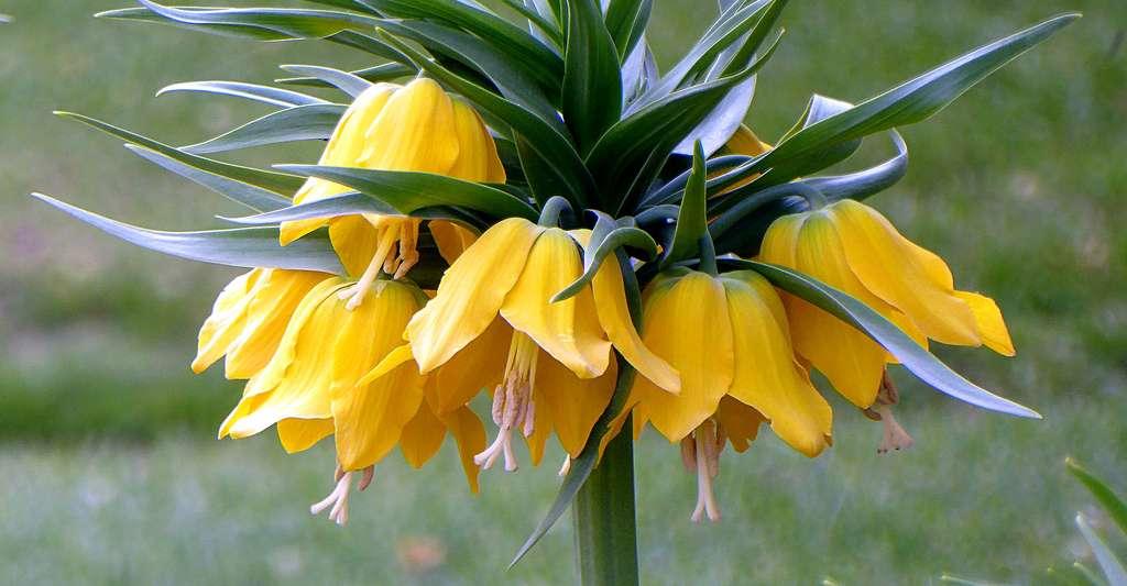 La fritillaire est une fleur très décorative. © Virginie-l, Pixabay, DP