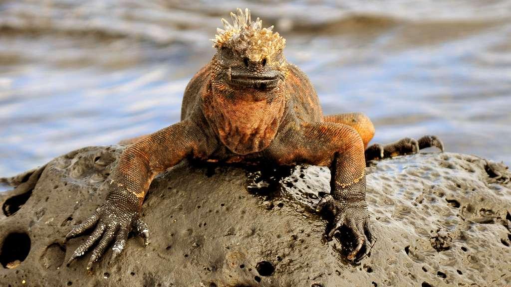 L'iguane marin des Galapagos