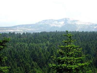 Cliquez pour plonger au cœur de la forêt de sapins et posez-vous la question : naturel ou artificiel, lequel est le plus écologique ? © Paul, Creative Commons Attribution-Share Alike 2.0 Generic