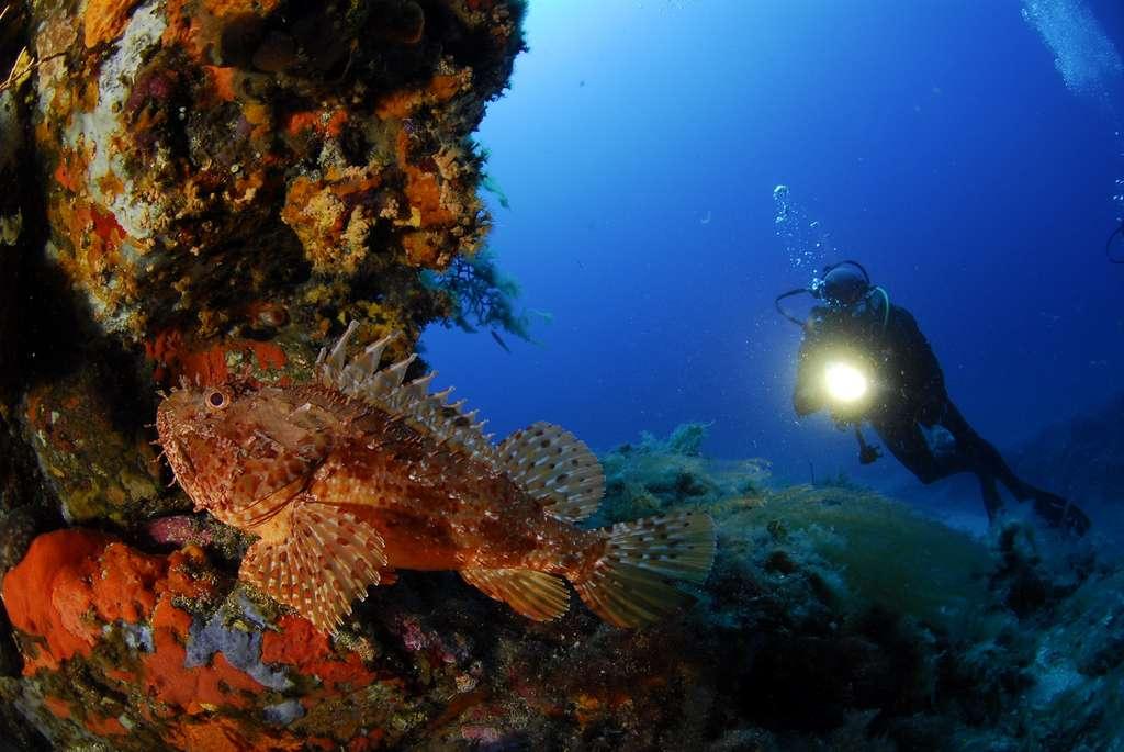 Un plongeur aperçoit un chapon dans la réserve du Cap Roux. © N. Barraque
