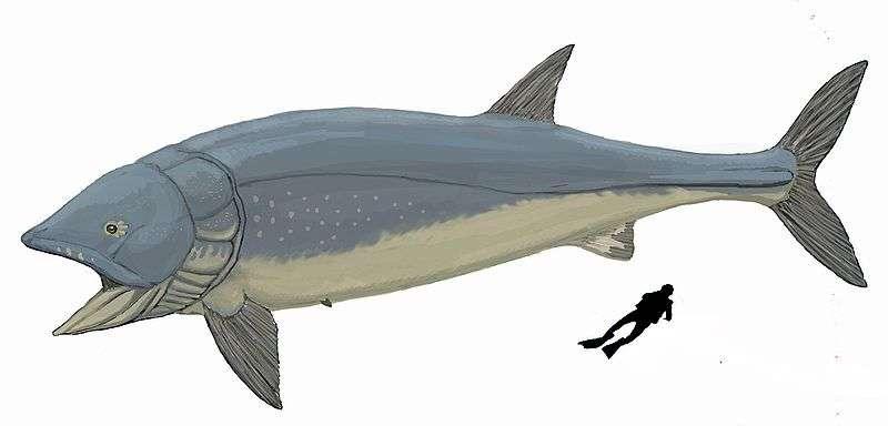 Le premier Leedsichthys problematicus a été découvert en 1886 près de Peterborough (Royaume-Uni) par Alfred Nicholson Leeds. Sa taille est ici comparée à celle d'un plongeur. © Dmitry Bogdanov, Wikimedia commons, cc by 3.0