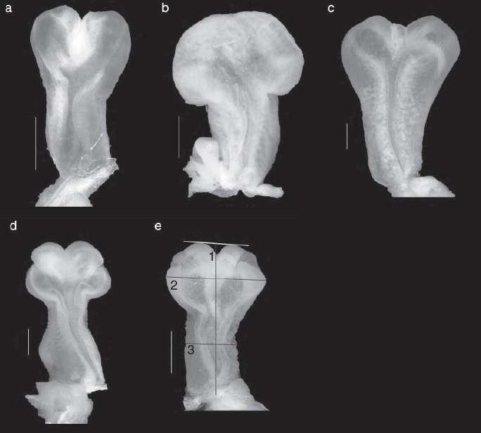 Variation morphologique des hémipénis de : (a) Anolis litoralis, (b) A. evermani, (c) A. brunneus, (d) A. cybotes et (e) A. grahami où sont mesurées (1) la longueur, (2) la largeur aux lobes et (3) la largeur au niveau du corps. La barre verticale de gauche représente une échelle de 1 mm. © Julia Klaczko et al., Journal of Zoology