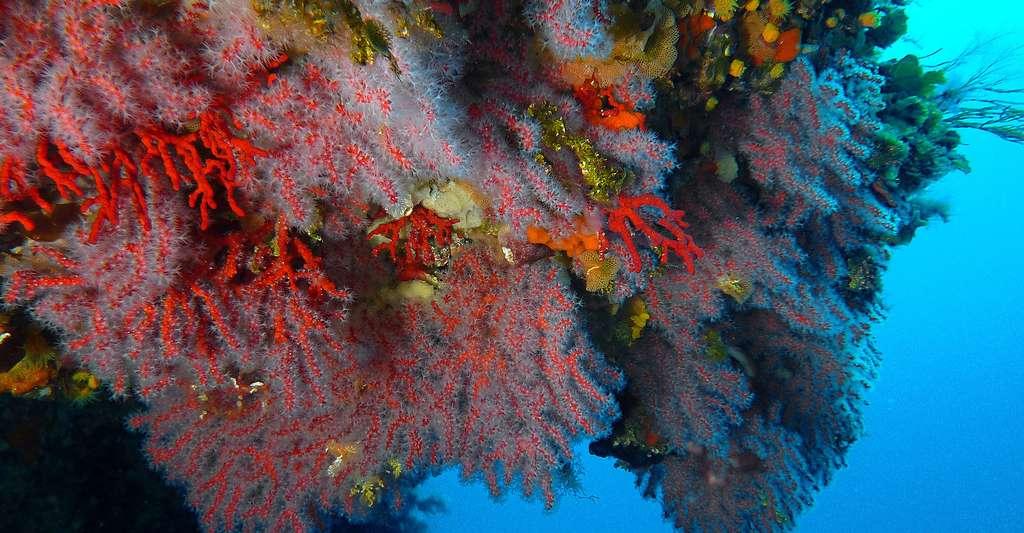 Les conditions écologiques préférées du corail rouge : peu de lumière et des courants pour se nourrir. © J.-G. Harmelin, tous droits réservés, reproduction et utilisation interdites