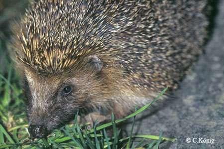 Hérisson, un animal protégé. © Toute reproduction et utilisation interdites