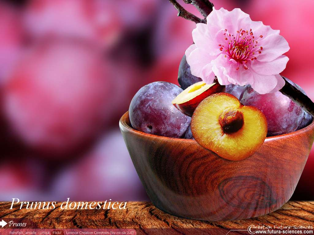 Prune de la fleur au fruit