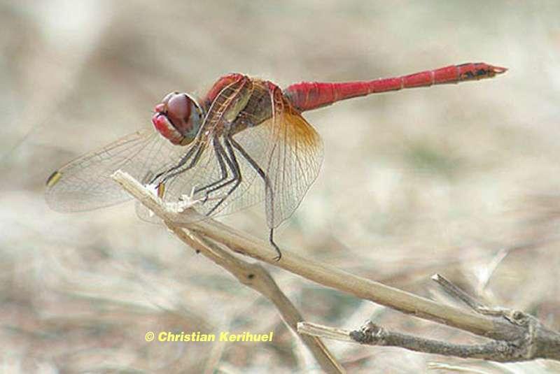 Un mâle Sympétrum à nervures rouges (Sympetrum fonscolombii)