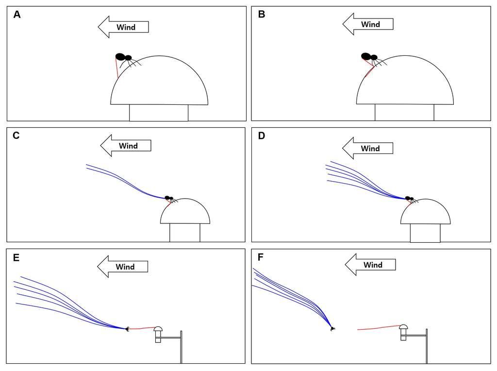 Méthode de décollage du ballooning perché (extrait du manuel de vol de l'araignée-crabe). Le fil dessiné en rouge sert à l'ancrage. Il est plus épais et plus court que les fils bleus, qui emportent l'animal. © Moonsung Cho et al., Plos Biology