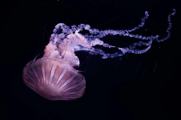 Les méduses vivent dans toutes les mers et les océans, et à toutes les profondeurs, jusqu'aux abysses. Elles se reproduisent de façon sexuée, asexuée ou par bourgeonnement. © Philippe Lopez, AFP/Archives