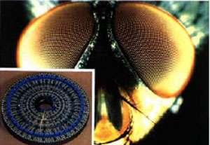 L'œil de mouche artificiel. © N. Franceschini