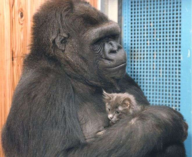Koko, femelle gorille en captivité qui a participé durant de longues années à des expériences sur le langage et le comportement. On la voit ici avec Smoky, un chat qui était son compagnon. C'est le cadeau qu'elle avait demandé pour son quarante-quatrième anniversaire, après la mort de son précédent chat, qu'elle avait elle-même surnommé All ball. Alors que l'on connaît si mal le comportement de cette espèce, les congénères sauvages de Koko sont apparemment voués à disparaître. © Gorilla Foundation