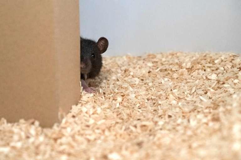 La prochaine fois que vous tomberez sur un rat chez vous, dites-vous qu'il veut peut-être simplement jouer à cache-cache. © HO, Reinhold, Sanguinetti-Scheck, Hartmann & Brecht, AFP