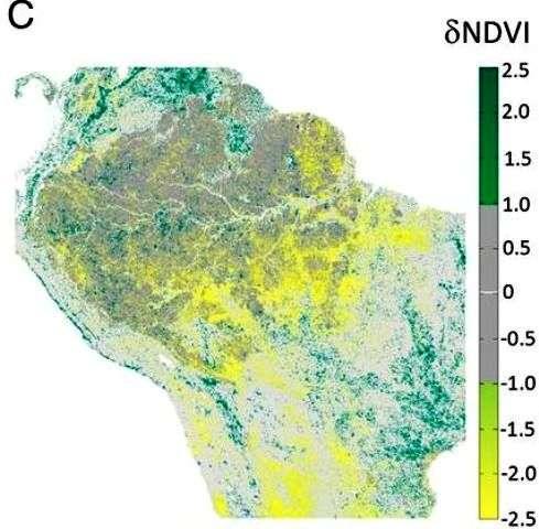 L'indice Normalized Difference Vegetation Index (NDVI) sert à mesurer l'importance de la couverture végétale. La couleur verte indique une augmentation et la couleur jaune une baisse. La couleur grise indique une absence de changement. Les résultats de 13 années d'observation de l'Amazonie sont présentés sur ce diagramme. © Hilker et al.
