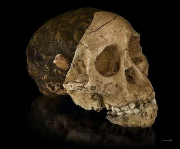 Moulage en trois parties : endocrâne, face et mandibule, de l'enfant de Taung. © Didier Descouens, Musée national d'histoire naturelle de Ditsong, Wikimedia Commons, CC by-sa 4.0
