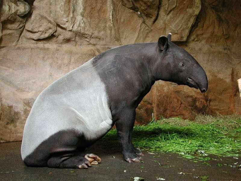 Tapir de Malaisie au zoo de Stuttgart, en Allemagne. © Fritz Geller-Grimm, Wikipédia, cc by sa 2.5
