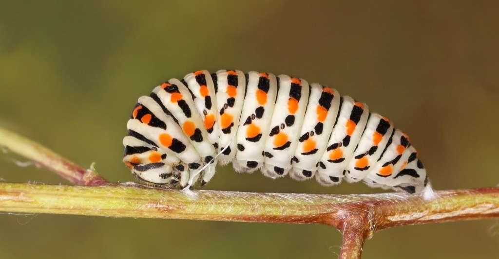 Chenille de papillon machaon. © Torook, Shutterstock