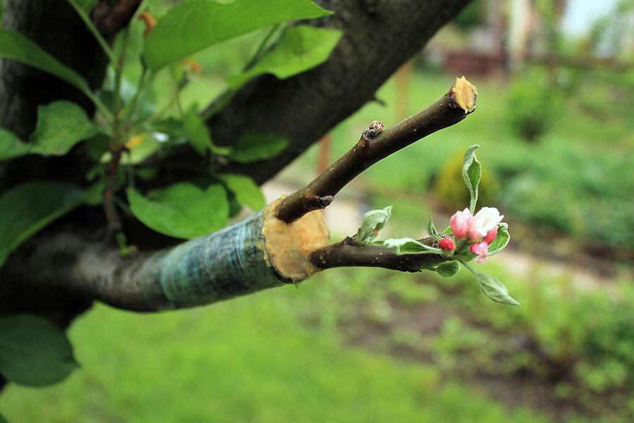 Faire des bouturages pour les arbres fruitiers. © Syndy, Fotolia