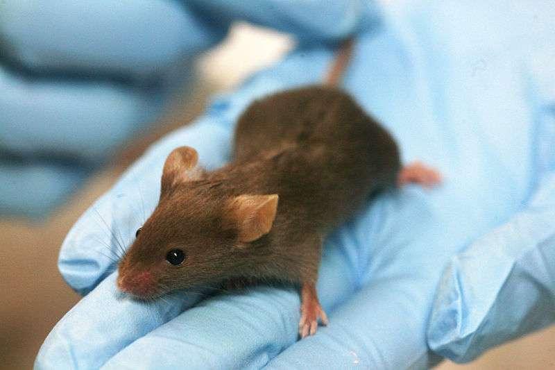 L'étude préclinique consiste en la réalisation de tests sur des animaux de laboratoire. C'est un passage obligé pour s'assurer de l'absence de dangerosité chez l'Homme. © Rama, Wikimedia, CC by-sa 2.0