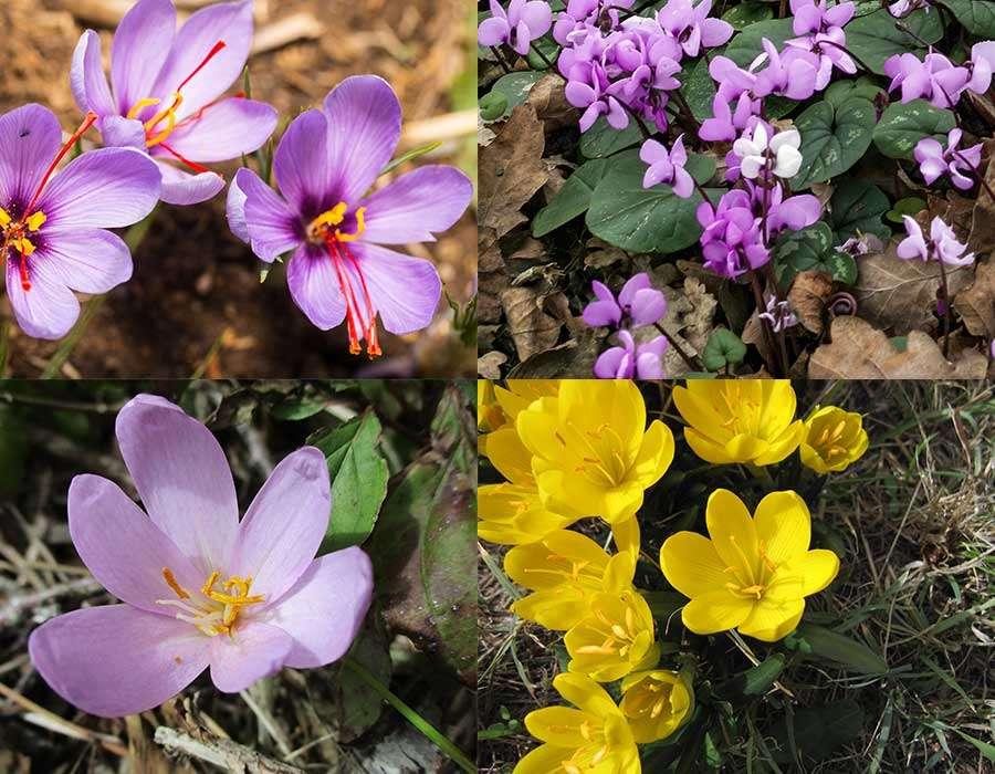 Floraison des bulbes de Crocus sativus, Cyclamen coum, colchique et sternbergia. © viperagp, Tony Baggett, AnRo0002, Engeser, Domaine Public