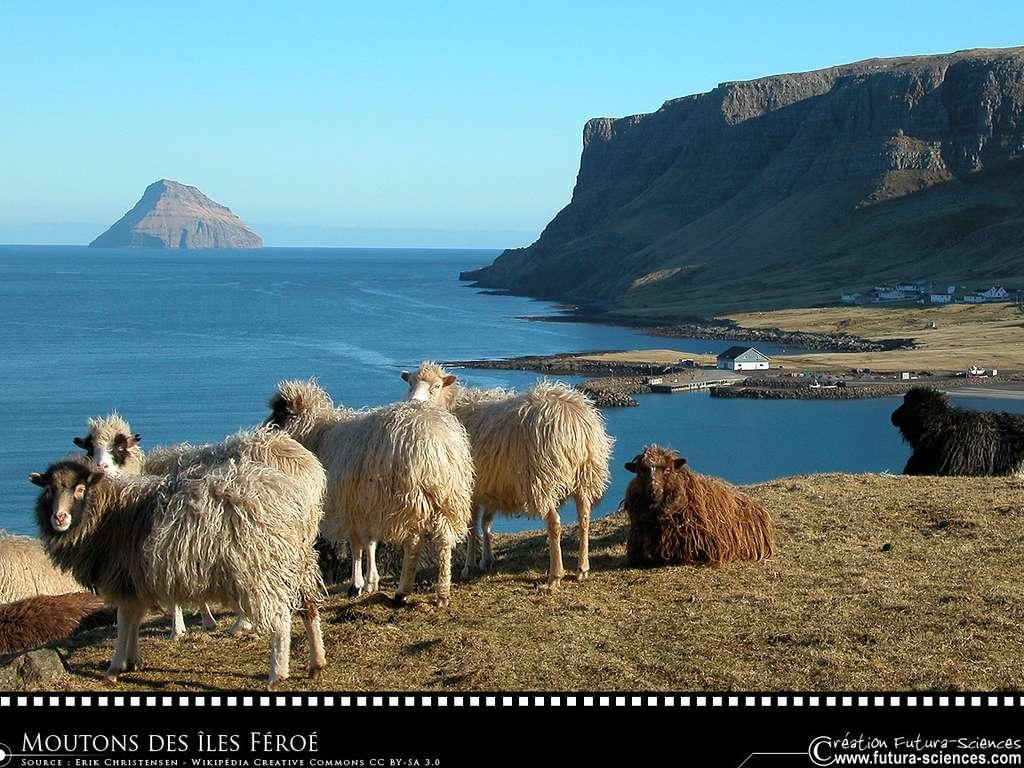 Moutons des îles Féroé
