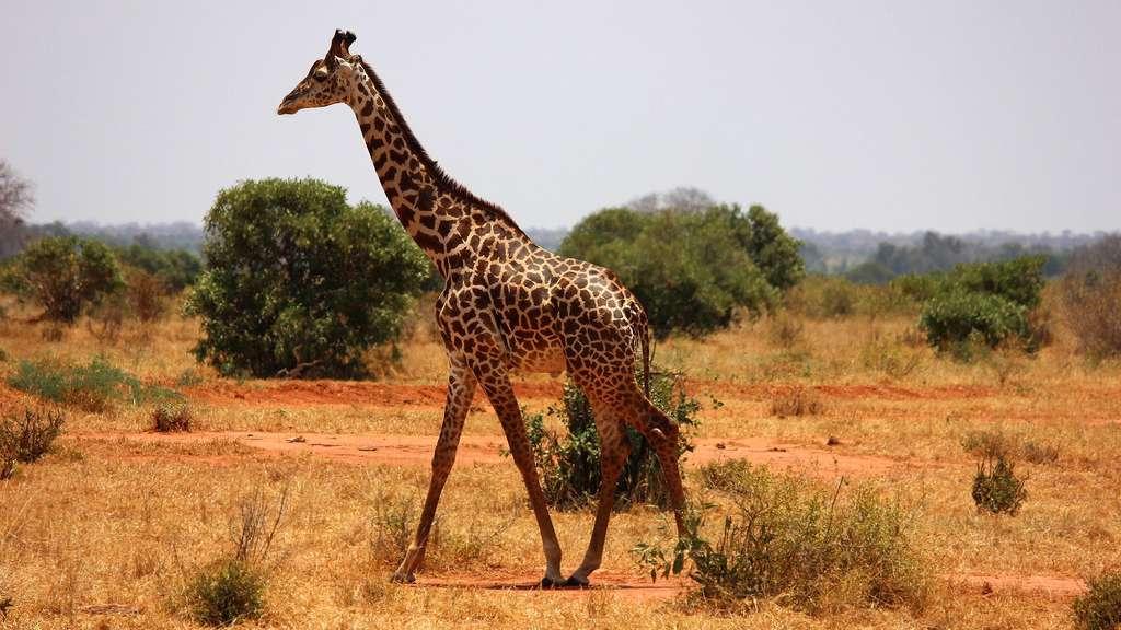 La girafe, un animal sauvage