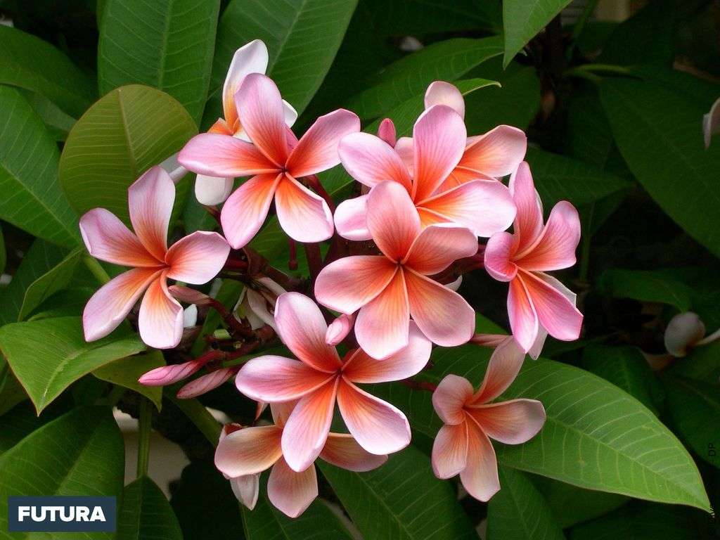 Le frangipanier (plumeria) est originaire d'Amérique centrale (Mexique, Venezuela)