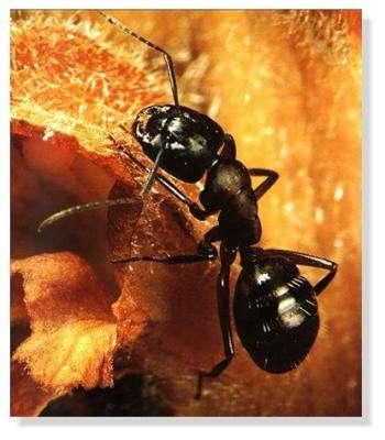 Les fourmis peuvent occasionner des morsures avec leurs mandibules. © DR