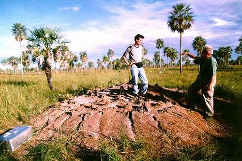 Le nid de cette champignonniste de la savane argentine est parvenu à maturité. La coupole formée par la terre excavée mesure 6 m de diamètre et représente un volume d'environ 16 m3. La coupole est percée de 169 ouvertures. Certaines sont simplement destinées au passage des millions d'ouvrières qui aménagent les chambres souterraines dans lesquelles se pratique la culture d'un champignon symbiotique. D'autres sont surmontées de cheminées d'un vingtaine de cm de haut destinées à assurer la ventilation du nid. L'air frais pénètre par les ouvertures les plus basses alors que l'air chaud sort par les cheminées du haut. © C. Kleineidam