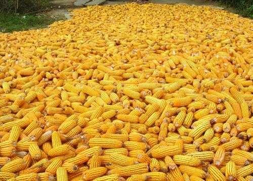 Les dernières données faciliteront le séquençage du génome complet du maïs. © DR