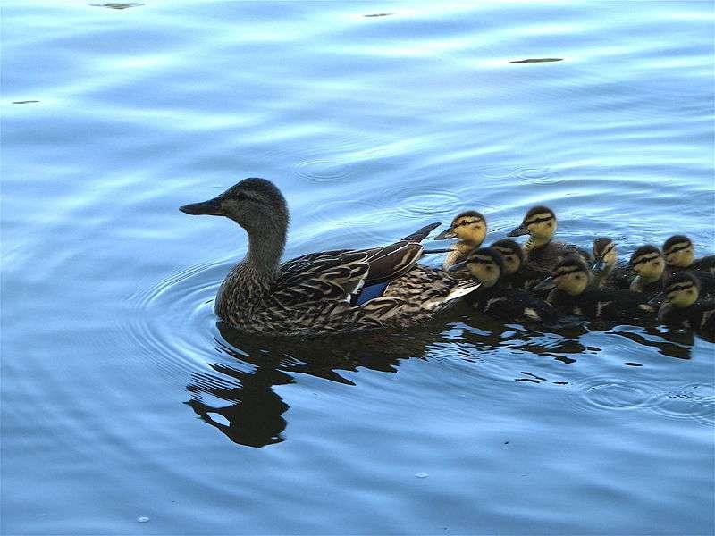 Bébés Canards colverts suivant leur maman