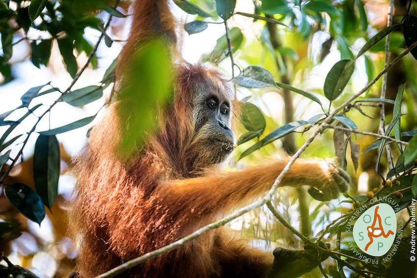 Pongo tapanuliensis, une sous-espèce d'orang-outan de Sumatra. © Andrew Walmsley