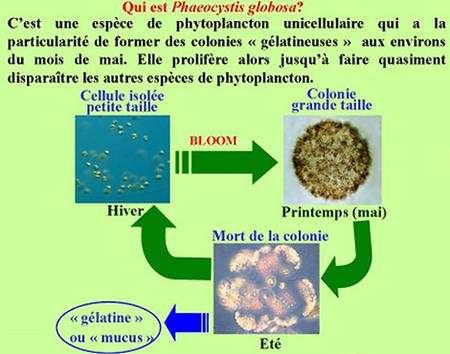 Cycle de Phaeocystis globosa (© Université de Lille)