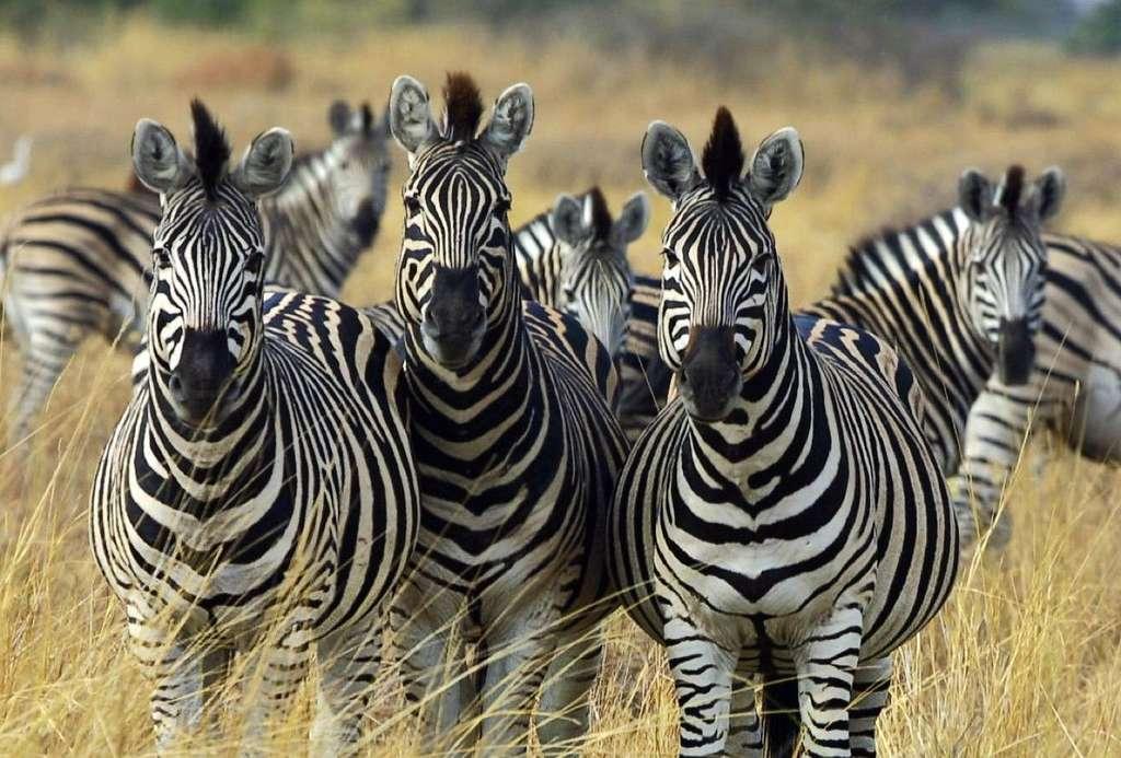 Symboles des savanes africaines, les troupeaux de zèbres se font de moins en moins nombreux car leur viande est appréciée des humains. © Paul Maritz, cc by 2.5