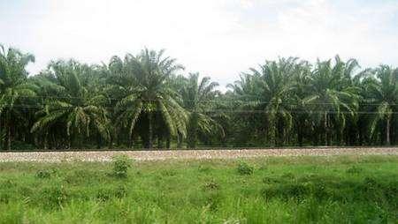 Plantation de palmiers à huile au Sénégal (Source : GFDL)