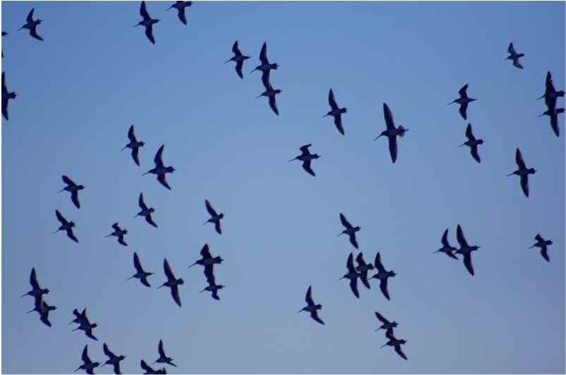 L'expansion géographique des cas de grippe aviaire serait due aux migrations des oiseaux. © DR