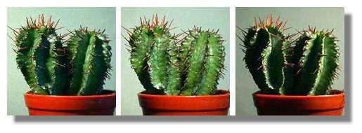 Figure 24. Une euphorbe photographiée le matin (à gauche, soleil à l'est), à midi (au milieu, soleil de face) et le soir (à droite, soleil à l'ouest) © Biologie et Multimedia