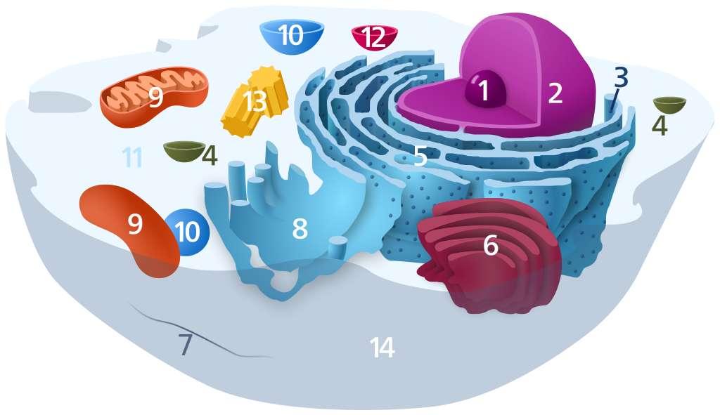 Structure typique d'une cellule animale. 1. Nucléole. 2. Noyau. 3. Ribosome. 4. Vésicule. 5. Réticulum endoplasmique rugueux (granuleux) (REG). 6. Appareil de Golgi. 7. Cytosquelette. 8. Réticulum endoplasmique lisse. 9. Mitochondries. 10. Vacuole. 11. Cytosol. 12. Lysosome. 13. Centrosome (constitué de deux centrioles). 14. Membrane plasmique. © LadyofHats (Mariana Ruiz), DP