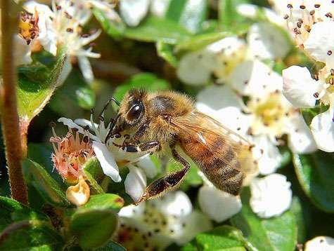 Butineuse Apis mellifera (abeille) à Hamois (Belgique). © Luc Viatour Licence de documentation libre GNU, version 1.2